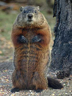 Not your ordinary wildlife -- the groundhog is the largest member of the squirrel family. Photo from Earthsky.org.