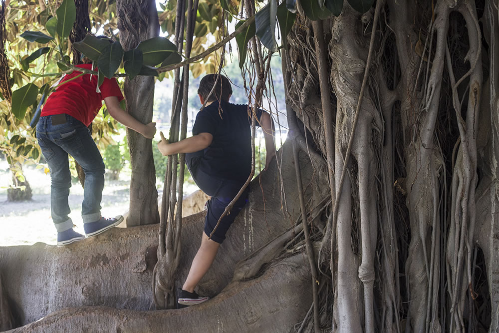 Boys playing on a 150 year-old Ficus macrophyla tree in the Giardino Garibaldi, Palermo, Sicily.  This extraordinary tree drops long, thin tangled roots down from its branches that, when reaching the ground, replant themselves, creating multiple trunks that support its expansion.