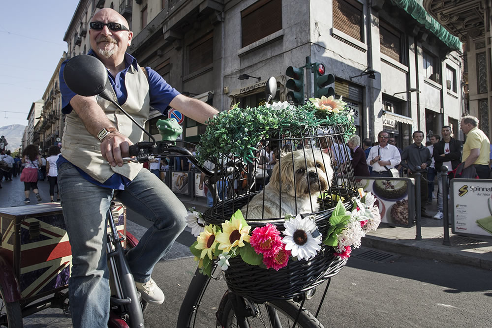 Shi-tzu riding in a certain style on a Sunday afternoon in Palermo, Sicily.