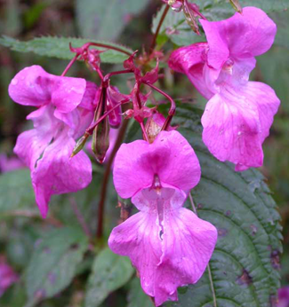 Himalayan balsam, photo from Plantlife.org.uk. If you know why the balsamic Moon has that name, please drop me a comment below. Thank you.