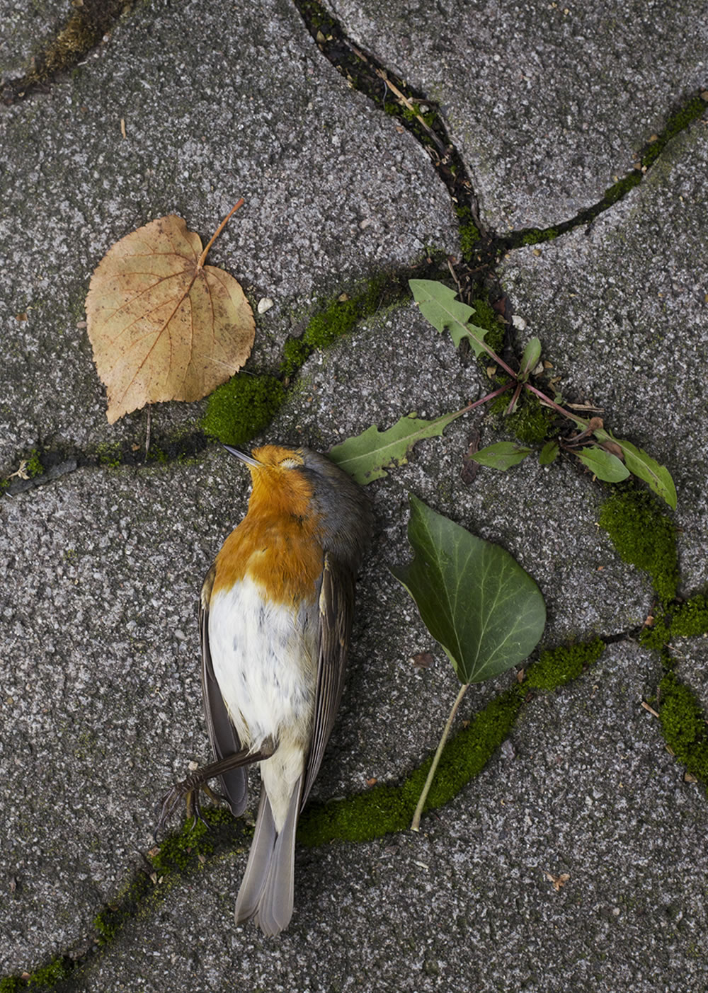 A robin in eternal sleep on a sidewalk in Kaiserslautern, Germany.  In remembrance of All Souls who have occupied physical bodies, big and small.