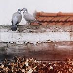 Pigeons_0387thumb