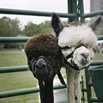 llamas_1049thumb