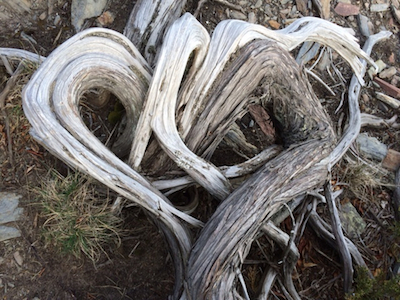 Juniper-branch heart at Prout's Neck, Maine. Photo by Amanda Painter.