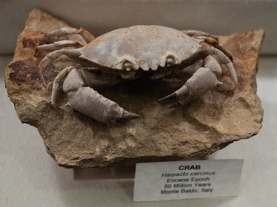 Fifty-million-year-old crab fossil.