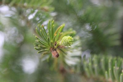 New growth on a Balsam fir; photo by Amanda Painter.
