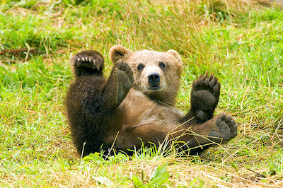 Brown bear having fun' photo by Beverly & Pack / flickr under Creative Commons license.
