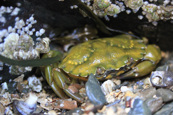 600+green_crab_june2017_IMG_9241