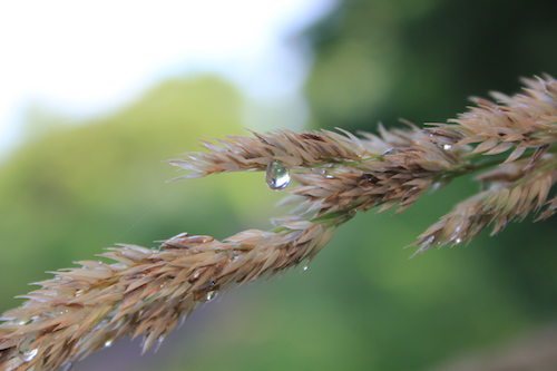 500+raindrop_grass1_July2017_IMG_9322