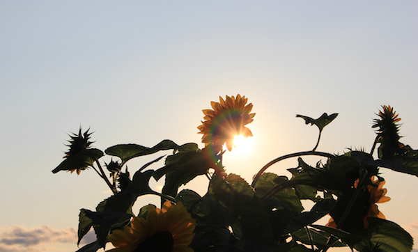 600+sunflowers_flare_Aug2015_IMG_4997