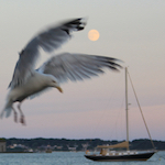Seagull photobombs the 2015 Pisces Full Moon; photo by Amanda Painter.