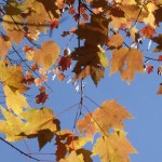 View of October leaves from below; photo by Amanda Painter.