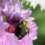 Bumblebee on a bachelor's button; photo by Amanda Painter.