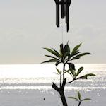 Chimes and frangipani tree in Padangbai, Bali; photo by Amanda Painter.